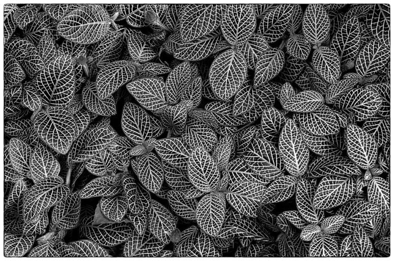 Black and white all over pattern of plants