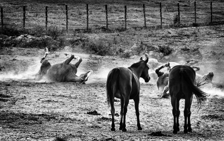 Horses rolling