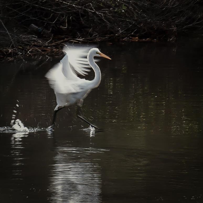 Egret Running